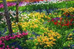 ogrodowy tulipan fotografia royalty free