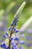 Ogrodowy łubin - Lupinus polyphyllus Zdjęcie Royalty Free