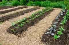 ogrodowy warzywo Obraz Royalty Free