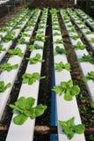 ogrodowy warzywo Fotografia Stock