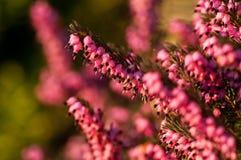 Ogrodowy wrzos w niskim słońcu Fotografia Royalty Free