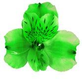 Ogrodowy zielony storczykowy kwiat odizolowywający na białym tle Zakończenie Makro- bell świątecznej element projektu Fotografia Stock