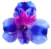 Ogrodowych błękit menchii storczykowy kwiat odizolowywający na białym tle Zakończenie Makro- Zdjęcia Stock