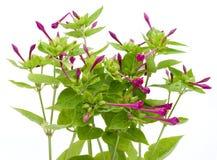 ogrodowych kwiatostanów ogrodowa roślina Zdjęcie Royalty Free