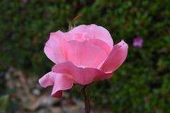 OGRODOWYCH menchii róży zakończenie UP fotografia stock