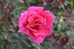 OGRODOWYCH menchii zieleni I róży liści ZAMKNIĘTY UP obraz stock