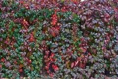 Ogrodzenie przerastający z winogradami obrazy royalty free