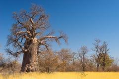 Ogromna baobab roślina w afrykańskiej sawannie Zdjęcia Royalty Free