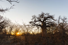 Ogromna baobab roślina w afrykańskiej sawannie z sunburst Botswana, jeden atrakcyjny podróży destionation w Afryka Obraz Royalty Free