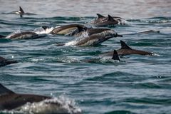 Ogromna grupa pospolitego delfinu doskakiwanie na zewnątrz oceanu Obrazy Stock