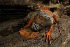 Ogromna iguany jaszczurka rusza się wzdłuż bagażnika drzewo, obraca swój głowę i patrzeje ostrożnie kolor jest szarym i jaskrawym Zdjęcie Royalty Free