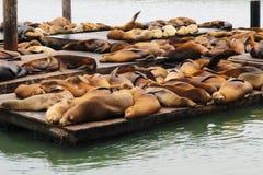 Ogromna liczba piękne futerkowe foki na drewnianym molu fotografia stock