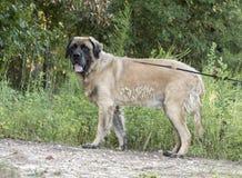 Ogromna wodołazu Leonberger góry psa mieszanki trakenu psa adopci fotografia Fotografia Royalty Free