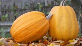 Ogromne pomarańczowe banie stoją blisko spadać jesień liści Jesieni żniwo banie i Halloween zdjęcie wideo