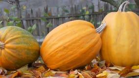 Ogromne pomara?czowe banie stoj? blisko spada? jesie? li?ci Jesieni ?niwo banie i Halloween zbiory