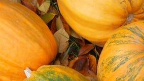 Ogromne pomara?czowe banie stoj? blisko spada? jesie? li?ci Jesieni ?niwo banie i Halloween zdjęcie wideo
