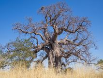 Ogromnego Afrykańskiego baobabu drzewny dorośnięcie na Kukonje wyspie w Botswana, afryka poludniowa Obrazy Royalty Free