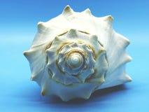 Ogromnego oceanu shellfish zbliżenia denny biel na błękitny tło odizolowywającym zdroju relaksuje sezon Obraz Stock
