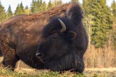 Ogromni żubrów spacery przez pole i jedzą gałąź i trawy fotografujących w północnej części Rosja zdjęcia royalty free