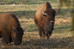 Ogromni żubrów spacery przez pole i jedzą gałąź i trawy fotografujących w północnej części Rosja obraz stock