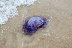 Ogromni błękitni jellyfish na piaskowatej plaży Zdjęcie Stock