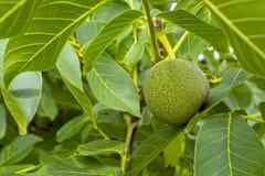 Ogromni, zieleni, varietal orzechy włoscy na drzewie na tle liście, zdjęcia royalty free