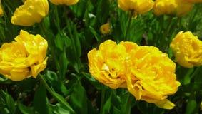 Ogromnie rozprężona głowa żółci tulipany zdjęcie royalty free