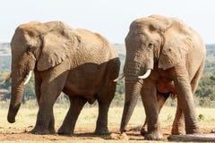 Ogromny - afrykanina Bush słoń Fotografia Royalty Free