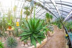 Ogromny agawy dorośnięcie w pustyni wśród kamieni i piaska Fotografia Stock