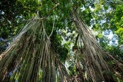 Ogromny Banjamini drzewo Zdjęcie Stock