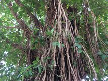 Ogromny Banyan drzewo Obraz Stock