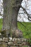 Ogromny Burl na Starym Pedunculate dębie obraz stock