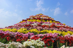 Ogromny chryzantema kwiatu przygotowania Chandigarh kwiatu festiwal fotografia stock