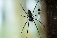 Ogromny Czarnej wdowy pająk Obrazy Royalty Free