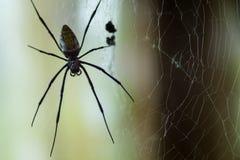 Ogromny Czarnej wdowy pająk Fotografia Royalty Free