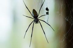 Ogromny Czarnej wdowy pająk Obrazy Stock