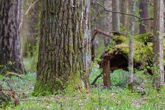 Ogromny dębowego drzewa mech zawijający w wiośnie Zdjęcie Royalty Free