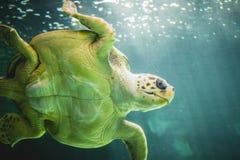 Ogromny denny żółw podwodny obok rafy koralowa Fotografia Royalty Free