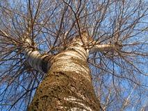 ogromny drzewo Obraz Royalty Free