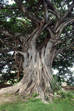 ogromny drzewo Fotografia Royalty Free
