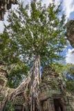 Ogromny drzewo na architektur ruinach Zdjęcie Stock