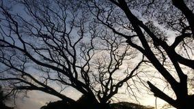 Ogromny drzewo z gałąź rozprzestrzeniać out Zdjęcie Stock