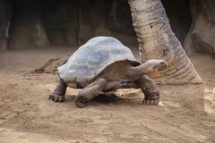 Ogromny Galapagos Tortoise Obraz Royalty Free