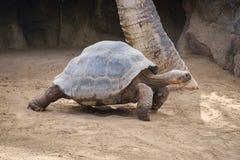 Ogromny Galapagos Tortoise Fotografia Royalty Free