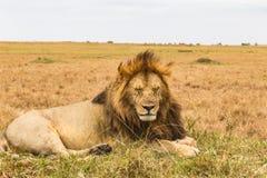 Ogromny gnuśny lew jest odpoczynkowy na wzgórzu Masai Mara, Afryka Obrazy Royalty Free