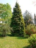 Ogromny iglasty drzewo w parkowym terenie obok dekoracyjnych krzaków i zielonego gazonu Zdjęcie Royalty Free