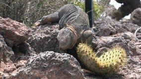 Ogromny iguany łasowania kaktus na skalistym wybrzeżu Galapagos wyspy zbiory