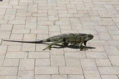 Ogromny iguany odprowadzenie w Floryda Fotografia Stock