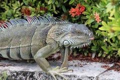 Ogromny iguany odprowadzenie w Floryda Zdjęcia Royalty Free
