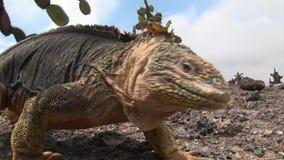 Ogromny iguany zakończenie na skalistym wybrzeżu Galapagos wyspy zbiory